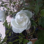 Last Roses of the year (Rosa)