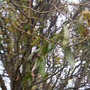 Twisted Willow (Salix babylonica 'Tortuosa')