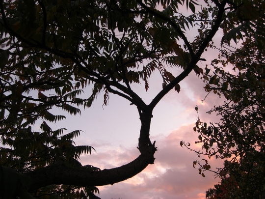 Tree_of_Heaven.jpg (Ailanthus altissima (Tree of heaven))