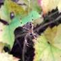 Autumn_spider
