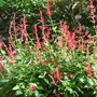salvia elegans (Salvia elegans (Pineapple Scented Sage))