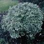 Emerald Gaiety (Euonymus fortunei (Euonymus))