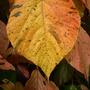 My Acalypha wilkesiana 'Jungle Dragon'   - Leaf (Acalypha wilkesiana 'Jungle Dragon')