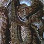 Amethystine Python (Amethystine python QLD AUSTRALIA)