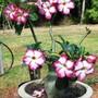 ADENIUM OBESUM (Adenium obesum [desert rose])