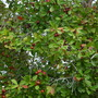 Psidium cattleianum - Strawberry Guava (Psidium cattleianum - Strawberry Guava)