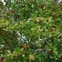 Psidium cattleianum - Strawberry Guava (Psidium cattleianum - Strawberry Guava)