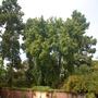Syzygium paniculatum - Australian Brush Cherry Tree (Syzygium paniculatum - Australian Brush Cherry)