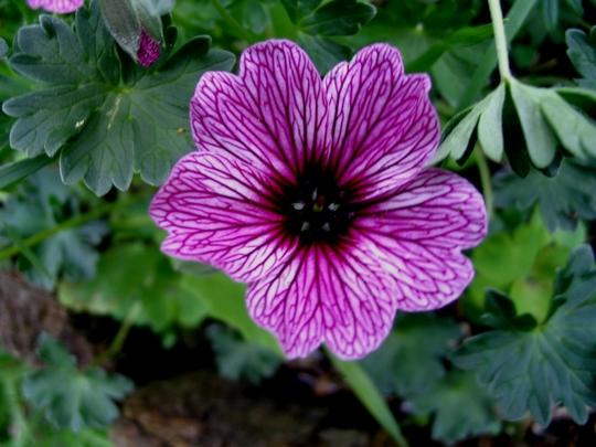 Geranium cineranium Laurence Flatman (Geranium cinereum 'Laurence Flatman')