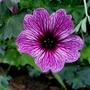Geranium_cinerarium_laurence_flatman