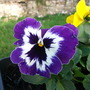 Purple faced Pansy