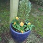 Blue_pot_replanted