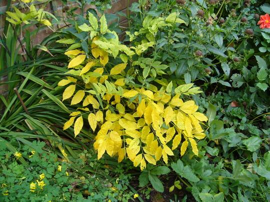 wisteria in the autumn (Wisteria sinensis (Chinese wisteria))