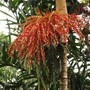 Aclumping palm sp (unknown sp .of Clumping Palm)