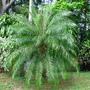 Dwarf Date Palm  (Phoenix roebelenii.Pygmy  palm)