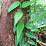 Philodendron sp (Un known sp Philodendron)