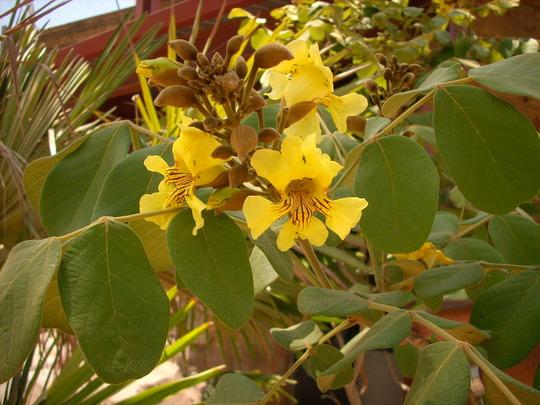 Markhamia zanzabarica var 'Aurea'  - Bell Bean Tree (Markhamia zanzabarica var 'Aurea'  - Bell Bean Tree)