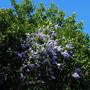 Petrea volubilus (Petrea volubilis)
