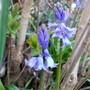 Spring Bluebells (Hyacinthoides non-scripta)