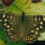 Speckled Wood close-up