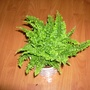 Boston fern (Nephrolepis exaltata)