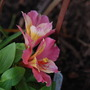 Alstroemeria 'Little Miss Davina' (again!)