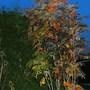 Autumn Leaves at Dusk!