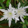 Pancratium Maritimum (Pancratium maritimum (Campaneta (Oc)))