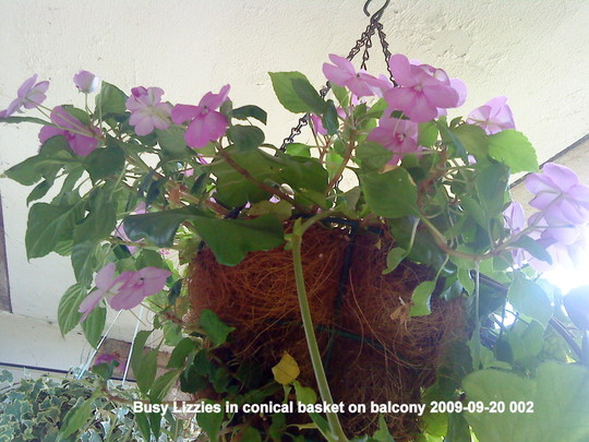 Busy Lizzies in conical basket on balcony 2009-09-20