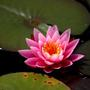Am_wh_waterlilly_p_small_