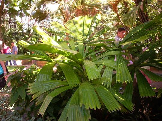Licuala ramsayi - Australian Fan Palm - San Diego, CA (Licuala ramsayi - Australian Fan Palm)