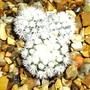 Mammillaria 'Snowcap' (Mammillaria 'Snowcap')