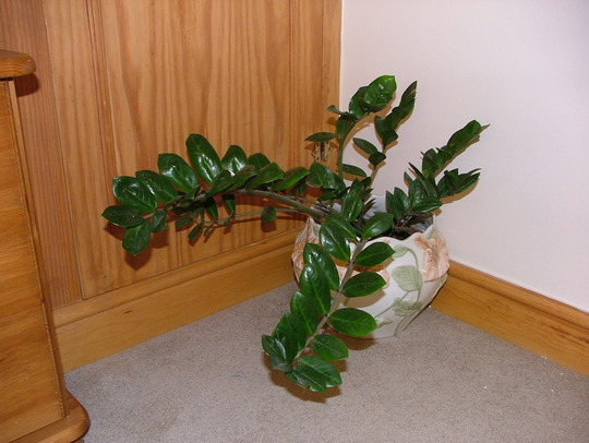 Chinese good fortune plant - Good household plants ...