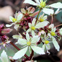 saxifrage flowering in my front garden