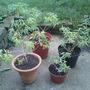 A_aloysia_triphylla_lemon_verbena_4plants