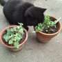 A_nepeta_cataria_citriodora_lemon_cat_grass