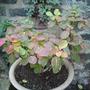A_cotinus_coggygria_purpurea_sumatran_smoke_bush