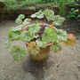 A_heuchera_green_spice