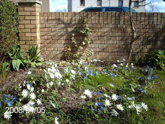 Anemone blanda 'White Splendour' (Anemone blanda)