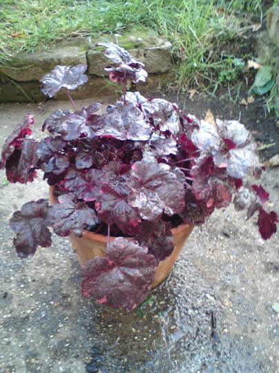 Alum Root MIDNIGHT ROSE (Heuchera)