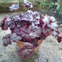 A_heuchera_midnight_rose