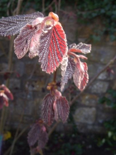 Purple Hazel leaves opening. (Corylus maxima 'Purpurea')