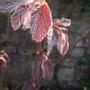 Corylus maxima