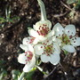 Weeping_pear_blossom