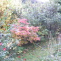 azalea autumn colour