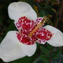 Look what opened for my Birthday....... (Tigridia pavonia (Tiger flower))