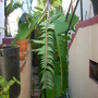 Musa &#x27;Mysore&#x27; - Mysore Banana (Musa &#x27;Mysore&#x27; - Mysore Banana)