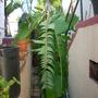 Musa 'Mysore' - Mysore Banana (Musa 'Mysore' - Mysore Banana)