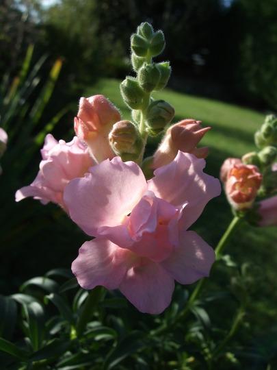 Pink antirrhinum