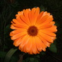 Calendula (Calendula officinalis (English marigold))